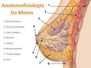 anantomia da mama, peitos após amamentar